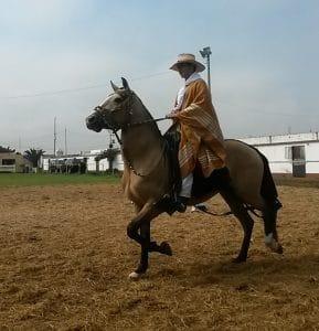 paso de caballo, Trujillo, nord du Pérou, caballo peruano de paso