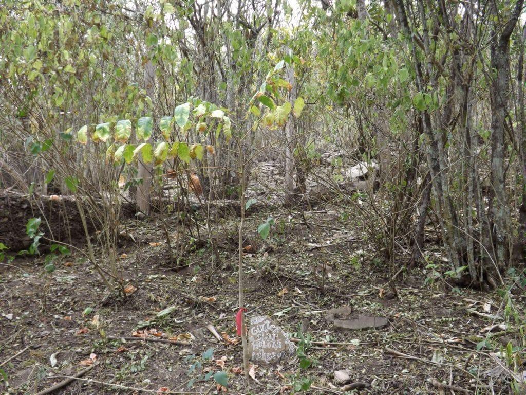 Baum pflanzen in Milpuj