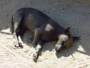 chien péruvien à Sechín