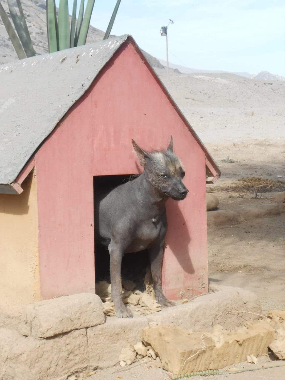 Peruanischer Hund in Chanchan, trujillo, Nordküste Peru