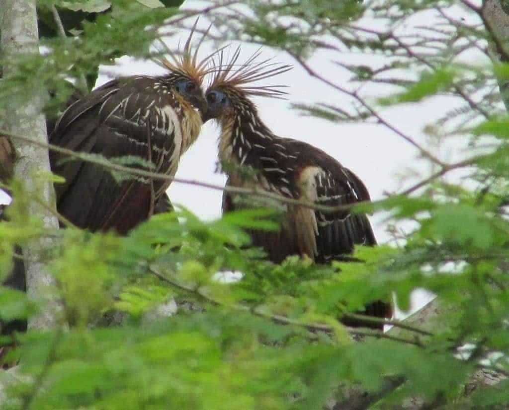 Oiseaux Hoazin