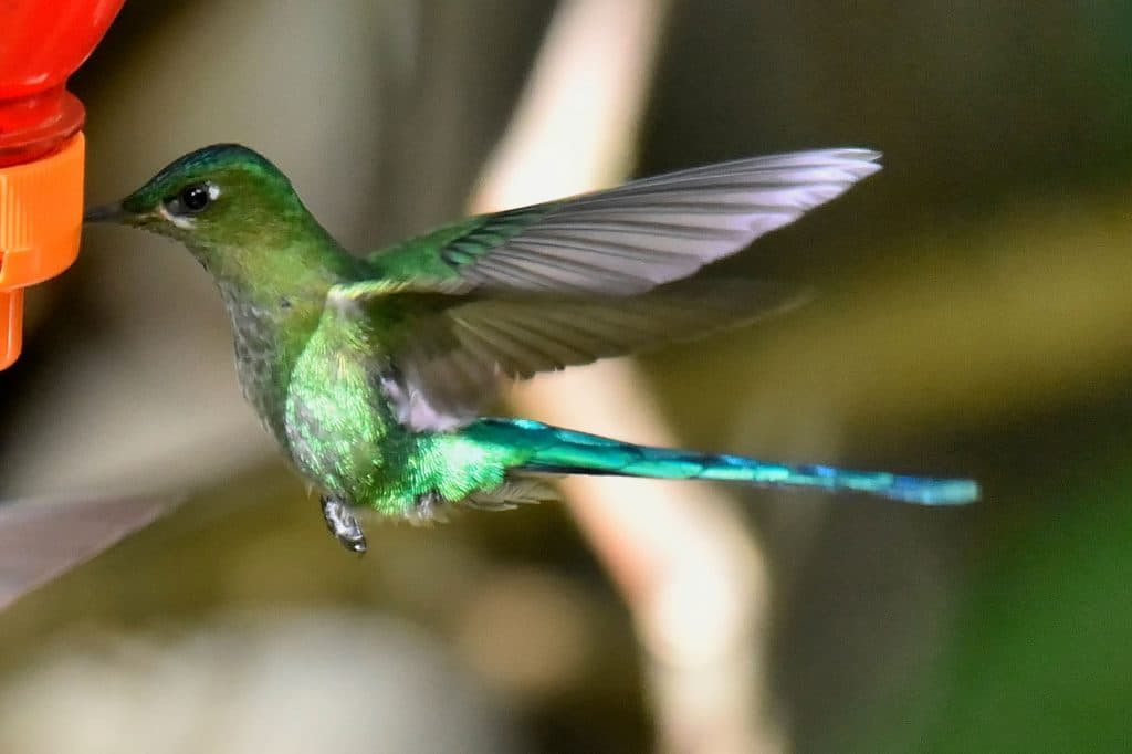 Kolibri, Nord-Peru