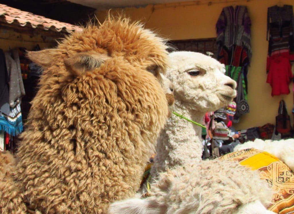 Lamas Cusco