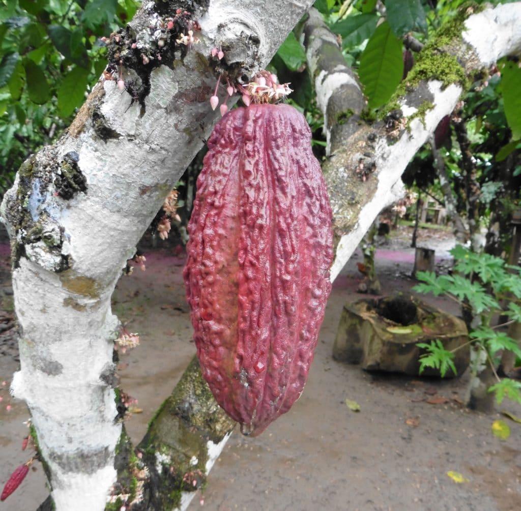 Cabosse de cacao, Amazonie du Nord du Pérou