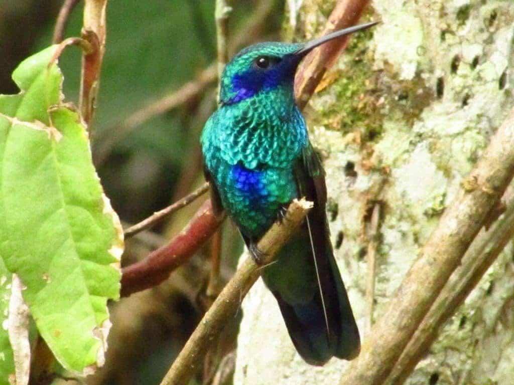 Colibri ventre bleu