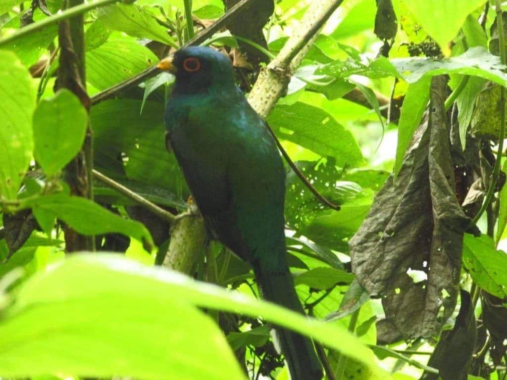 Oiseau Pilco, Cuispes