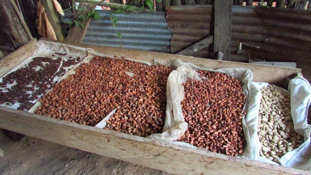 Schokoladen-Gärung, Chazuta, Amazonia