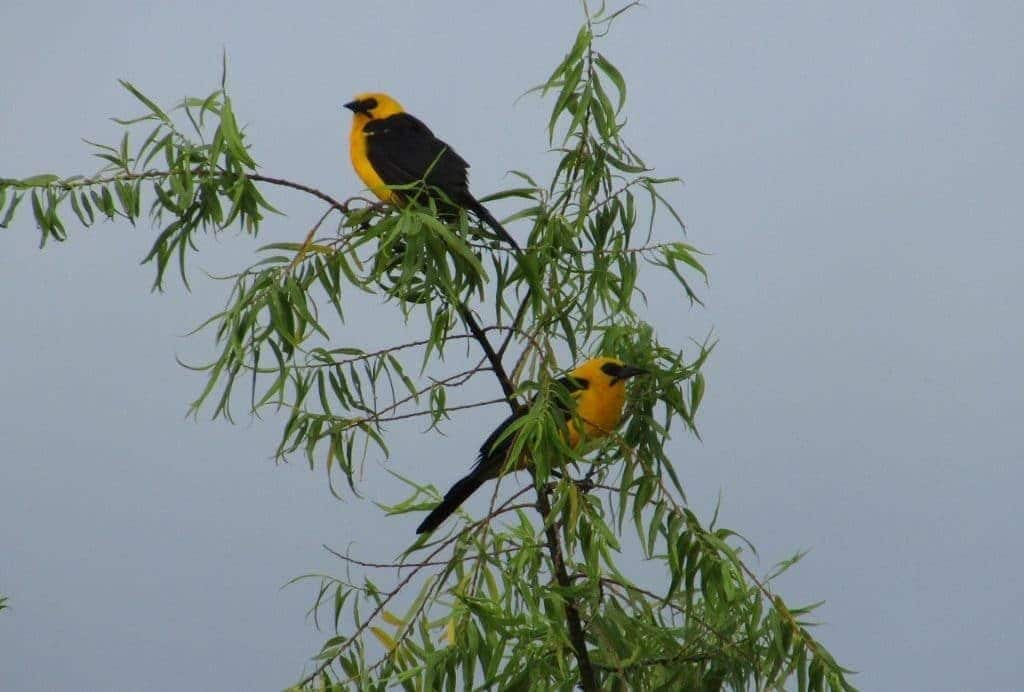 Beautiful birds northern Peru