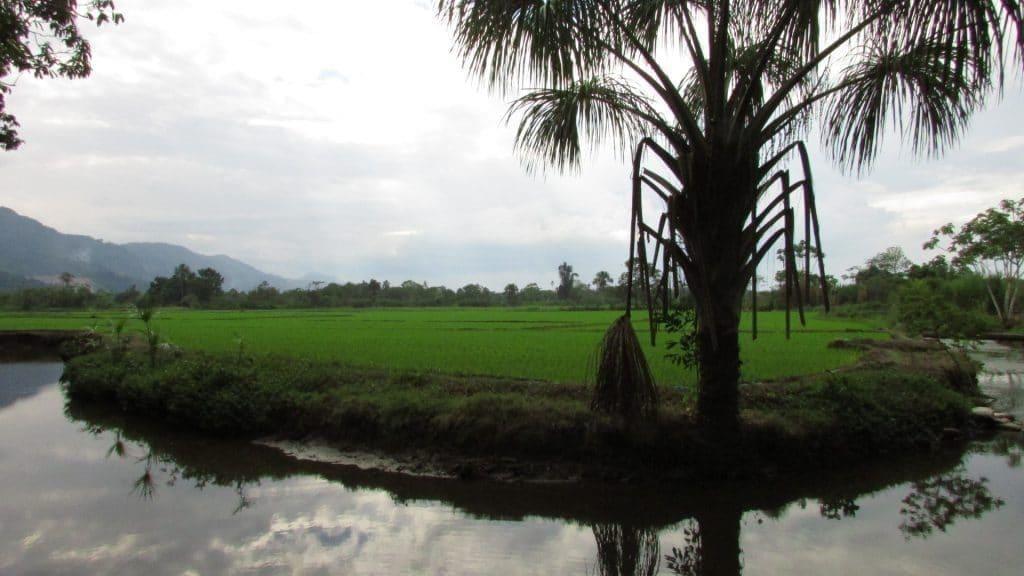 Rizière San Martin Nord du Pérou