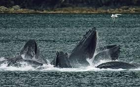 Buckelwale Magellan Chile